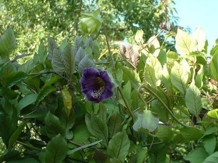 Fleurs grimpantes bleues - Plante grimpante fleur bleue ...